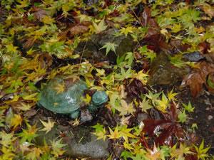 Sonoma Rain Japanese maple leaves