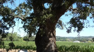 Ancient Oak in Dry Creek Valley