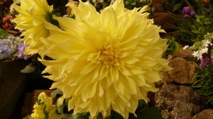 Dinner plate dahlia at Sonoma County Fair