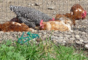Sonoma County Chickens