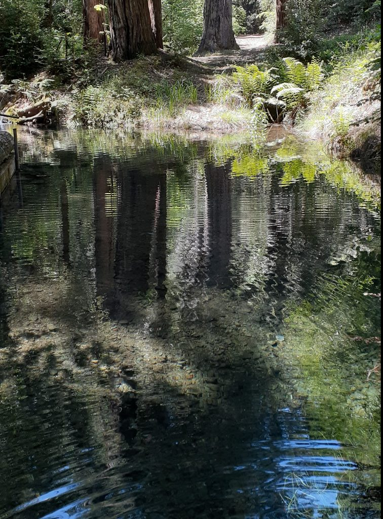swimming hole reflects redwood trees.
